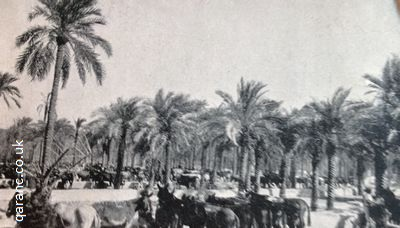 mule depot under palm trees basra world war two